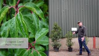 Laurel Hedge Information and Advice  about Cherry Laurel and Portuguese Laurel