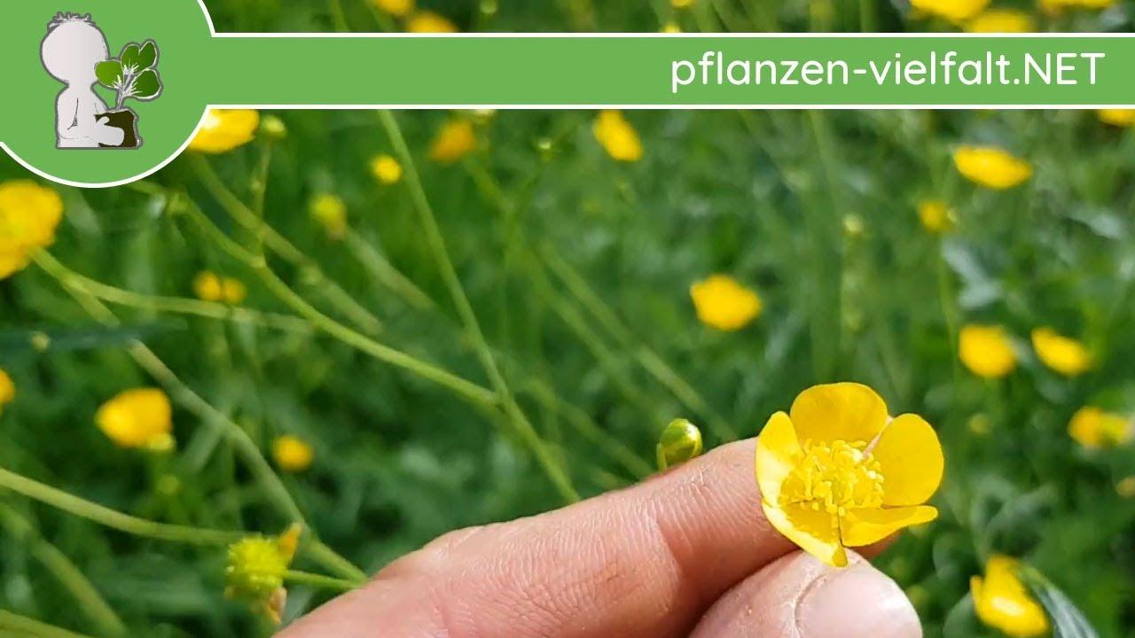 Berühmt Scharfer Hahnenfuß - Bestimmung (ACHTUNG: Diese Wildpflanze ist &DI_27