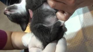 小貓脫肛處理@長沁動物醫院 20121019 11:11 MAH06819.MP4