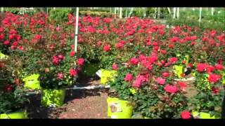 Roses for Sale.Doylestown Township, PA Area Bucks County : orserlandscaping.com