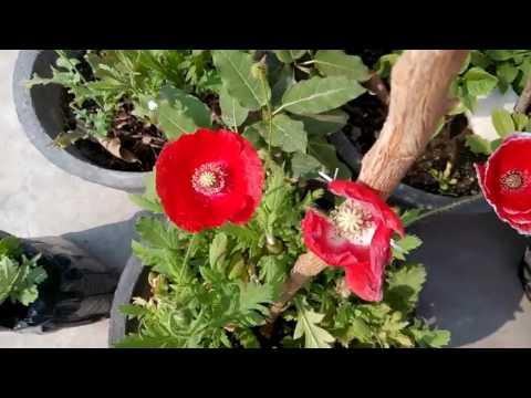 255 How To Care Garden Poppy Blooming Garden Poppy In My Garden