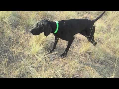 black-gsp-hunting-dog-in-training-at-reliable-kennels,-yakima,-washington