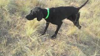 Black Gsp Hunting Dog In Training At Reliable Kennels, Yakima, Washington