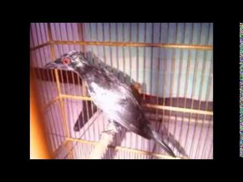 Cucak Keling Teler | Burung Cucak Keling Gacor