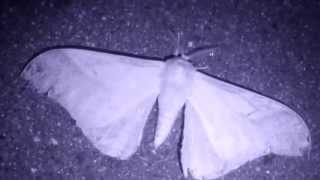 Threat Display of Japanese Giant Silkworm Moth at Night クスサン♂(蛾)眼状紋による威嚇【暗視動画】
