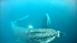 Gopro Humpback Whales