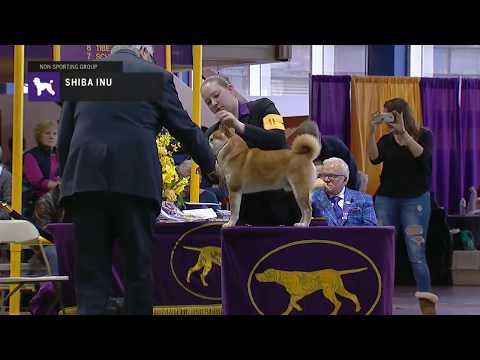 Shiba Inu | Breed Judging 2019