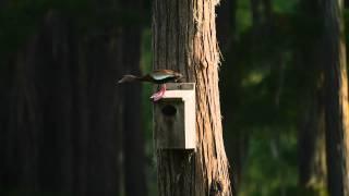 P1170494 2012-05-22 Black-bellied Whistling Ducks, House Hunting