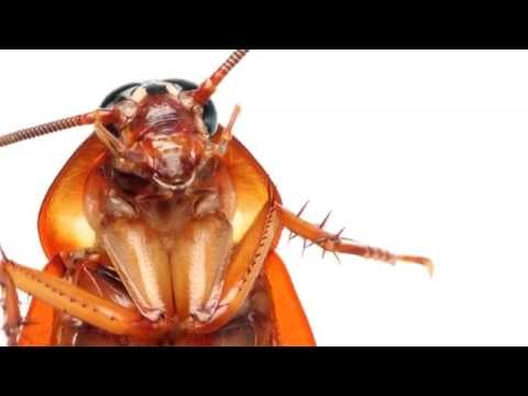 hamam böceği nasıl yok edilir