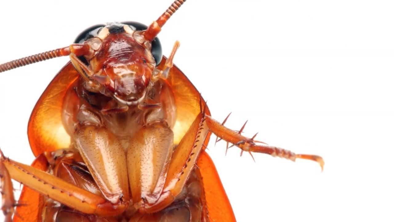 Hamam böceklerinden kurtulmanın kesin çözümü