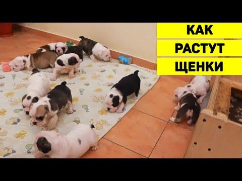 Как растут щенки? 11 щенков Английского Бульдога с Рождения до 1,5 мес. Спят, едят и начинают ходить