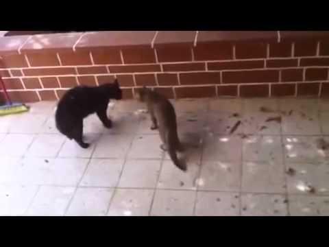 Свирепые кошаки на пике страстей Самые смешные кошачьи бои Для всех любителей четвероногих