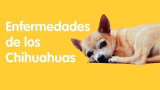 4 Enfermedades Comunes en los Perros Chihuahuas