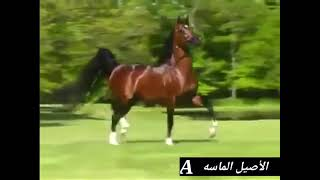 صلى عليك الله ياخير الورى   أصيل 4