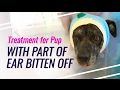 Treatment Process for Dog With Part of Ear Bitten Off