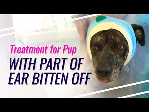 Treatment Process for Dog With Part of Ear Bitten Off - YouTube
