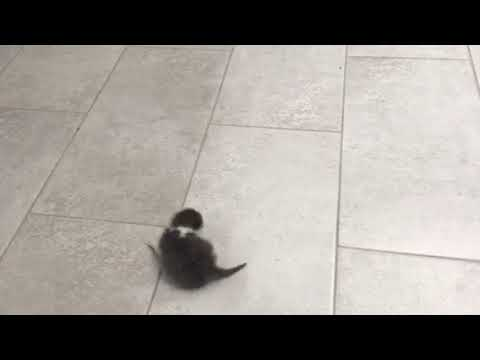 Mom cat can't carry baby kitten back to bed