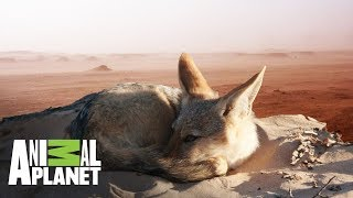 La supervivencia del Chacal en el desierto | Ríos de África | Animal Planet