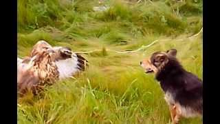 Игра собаки и орла