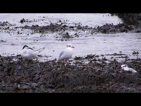 Mediterranean Gull (ringed in Belgium) - East Wemyss - Fife