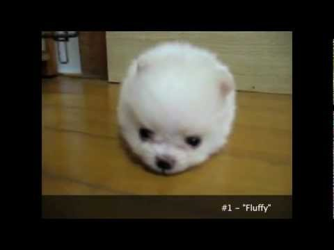 Cuteness Overload Cutest Puppies Ever Seen on Video