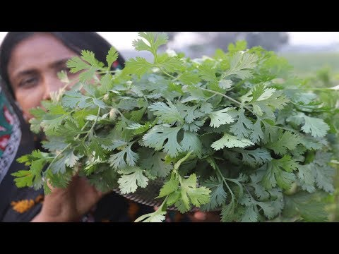 Village Food Farm Fresh Coriander Leaf Fry Recipe Village Style Delicious Fresh Coriander Leaves Fry