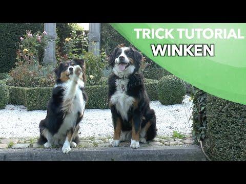 Winken - Einsteigertrick 2 von 3 - Leichte Hundetricks beibringen - Clicker Australian Shepherd