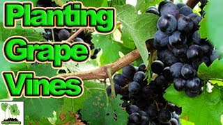 How To Plant Grape Vines In The UK