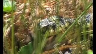 couleuvre avalant une souris entière encore vivante