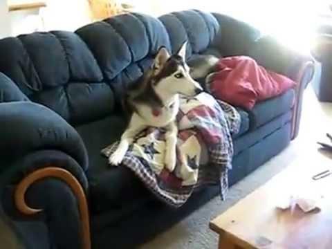 Un chien husky refuse de mettre son collier | Doovi