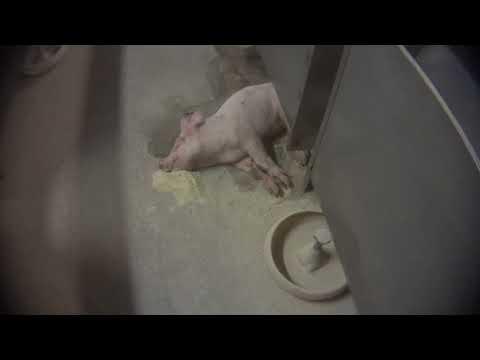 Severe Abuse Inside Italian Pig Farms Supplying Parma Ham