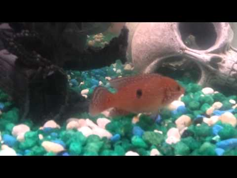 Jewel cichlid eats a baby convict.