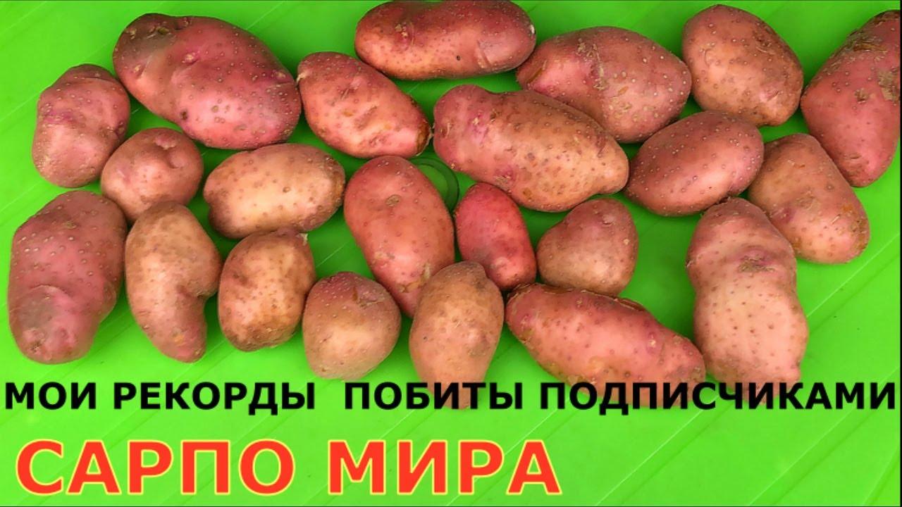 Картофель САРПО МИРА, у кого какой урожай?