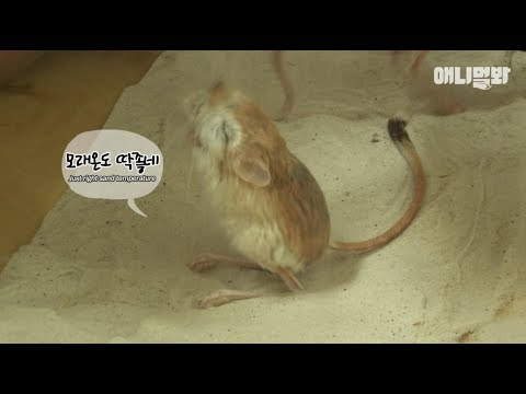 (※Rare video) kangaroo rat taking a shower after a day's work