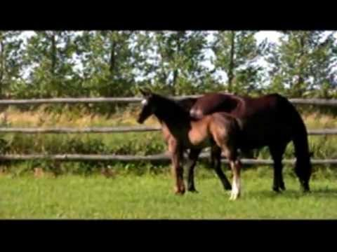 Whispen: 2011 Black/Brown Hanoverian Filly by Wolkentanz II