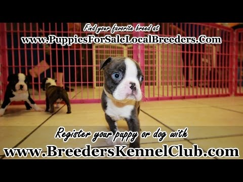 BLUE EYED BLUE BOSTON TERRIER PUPPIES FOR SALE GEORGIA LOCAL BREEDERS