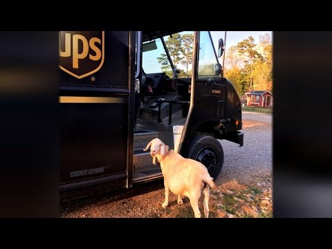 This Rescued Goat Is In Love With The UPS Driver