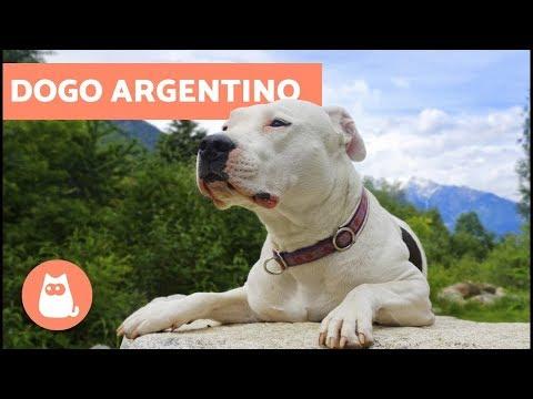 Dogo Argentino – Addestramento, storia e caratteristiche della razza