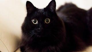 """しゃべるねこ、しおちゃんの「おむかえ」集 - Talking cat Theo greeting his """"Papa"""""""