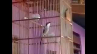 burung pentet kepala hitam gacor