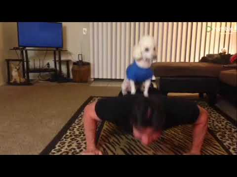 Small dog acts as owner's personal trainer