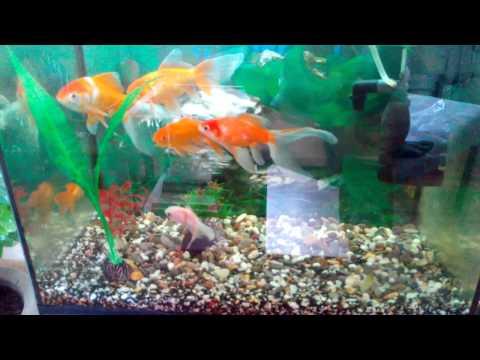 Золотые рыбки – красивые аквариумные жители