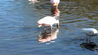Video Roseate Spoonbill feeding download MP3, 3GP, MP4, WEBM, AVI, FLV Oktober 2018