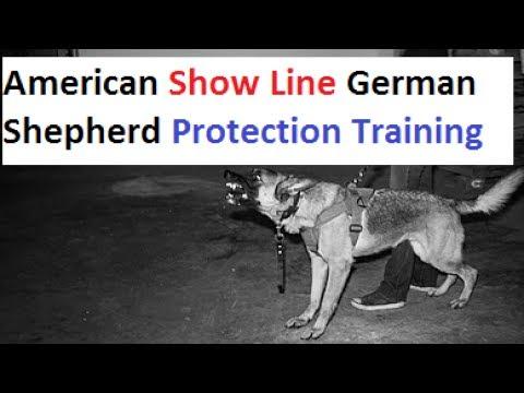 Show Line German Shepherd Protection Training (K9-1.com)