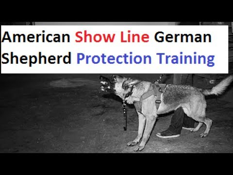 Show Line German Shepherd Protection Training (K9-1.com)