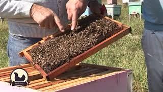 Kako spasiti pčelinje društvo bez matice?