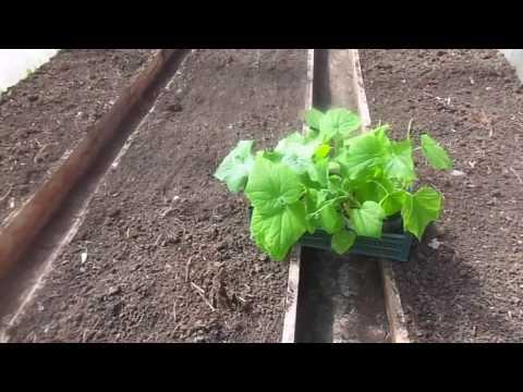 Как правильно высадить рассаду огурцов в теплицу.
