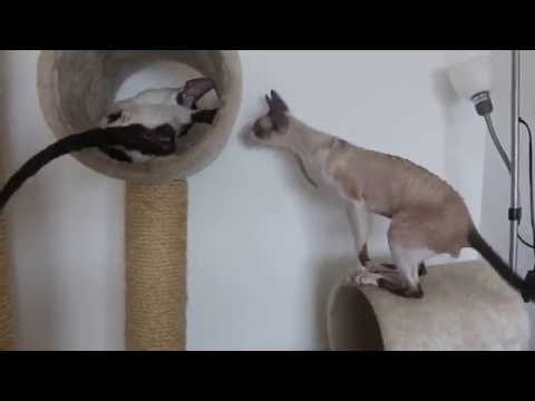 Cornish Rex wants to play with his new girlfriend