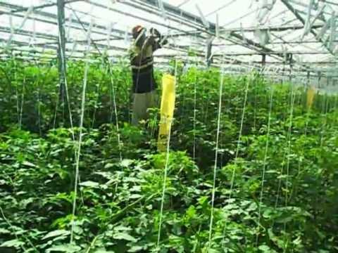 Bajando planta tomate youtube for Plantas para invernadero