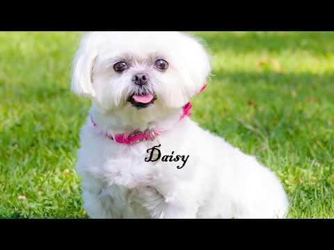 Our dog lover community maltese dog gallery